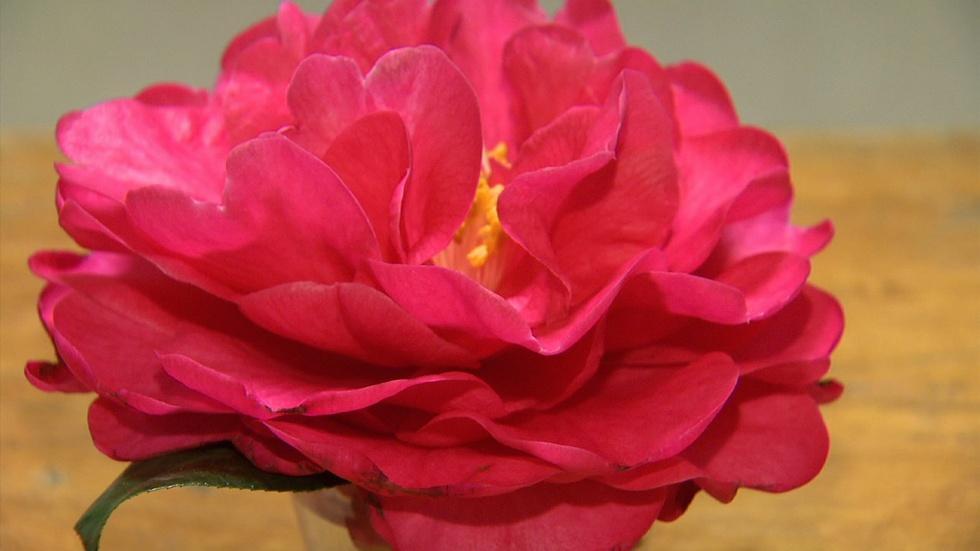 North Carolina Camellia Shows image