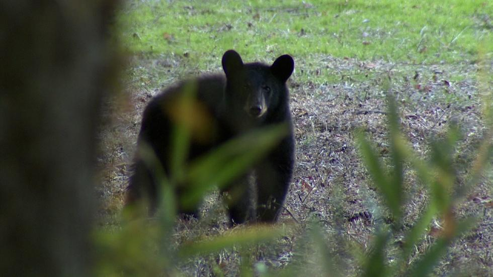 Bear Watching Tour image