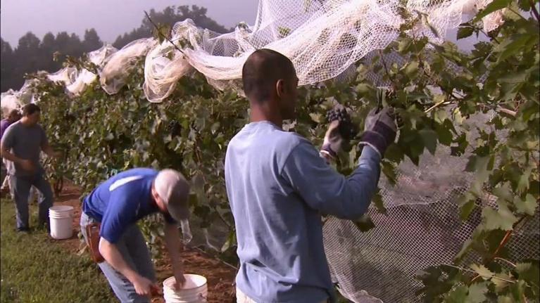 North Carolina Community Colleges: Surry Community College Viticulture Program