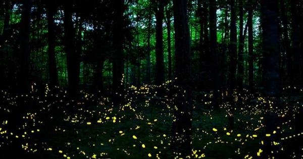 Sci Nc Nc Science Now Synchronous Fireflies Season 2018 Pbs