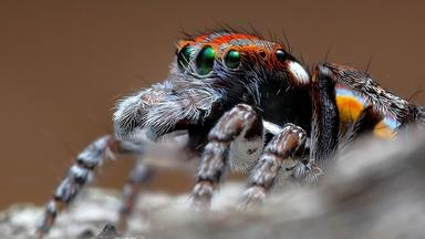 Peacock Spiders Mating Rituals