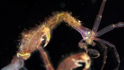 Skeleton Shrimp Use 18 Appendages to Feed, Fight and Frolic