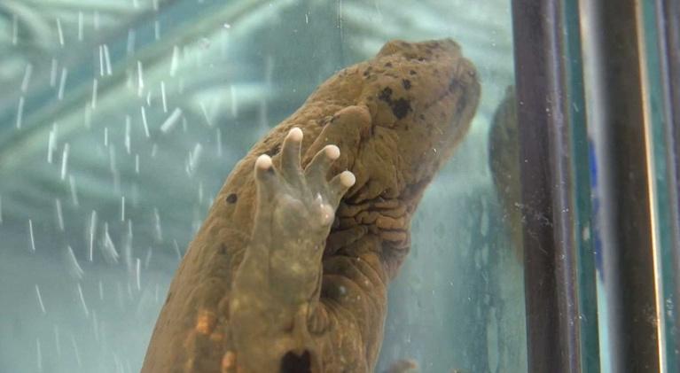 Living St. Louis: Hellbender Salamander Update