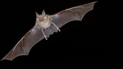 NOVA | Bat Superpowers Preview