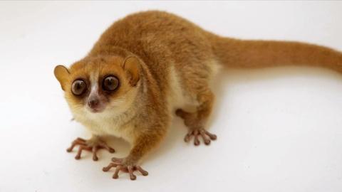 Rare -- Creature Clip: Rufous Mouse Lemur
