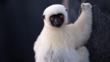 Lemurs Navigate the Grand Tsingy