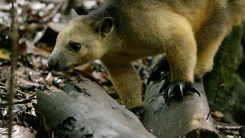 Magical Land of Oz -- Tree Kangaroos in Queensland Rainforest