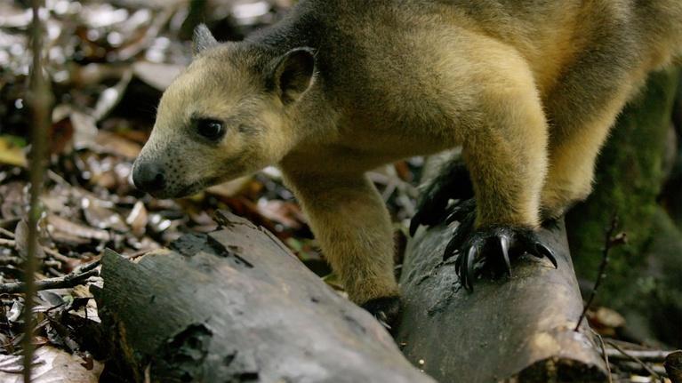 Magical Land of Oz: Tree Kangaroos in Queensland Rainforest