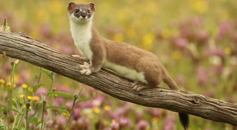Nature: The Mighty Weasel - Preview