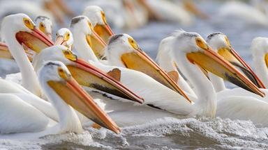 White Pelicans Feeding in Minnesota