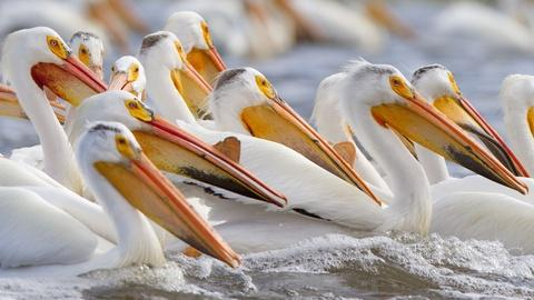 White Pelicans Feeding in Minnesota