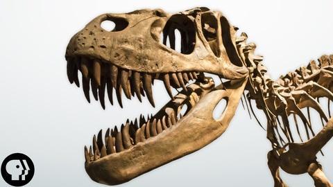BrainCraft -- S3 Ep30: Dissecting a Dinosaur Brain (sort of)