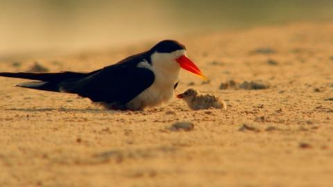 Nature -- African Skimmer Parenting