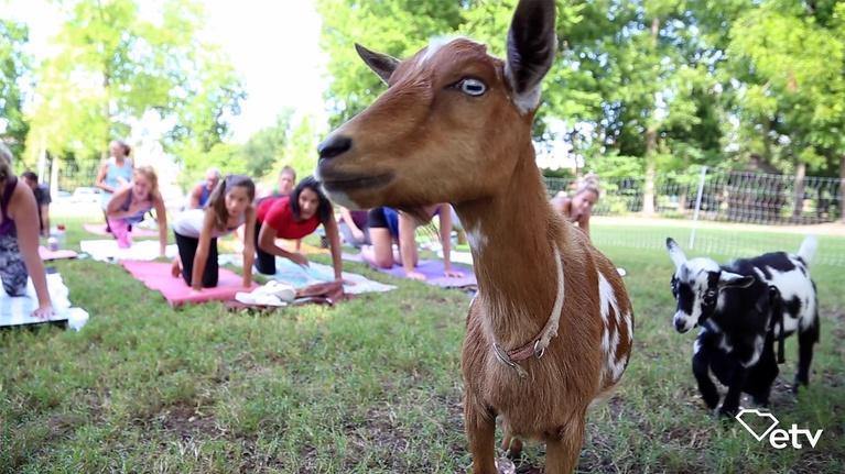 Made Here: Goat Yoga