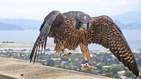 Deep Look -- Watch These Peregrine Falcons Become Fierce Parents
