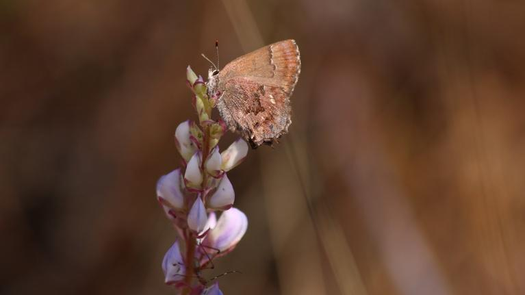 Local Routes: Frosted Elfin: Rare Butterfly of the Munson Sandhills