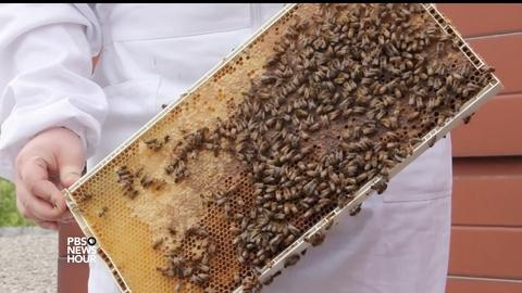 PBS NewsHour -- New studies shed light on bee health, climate inequality