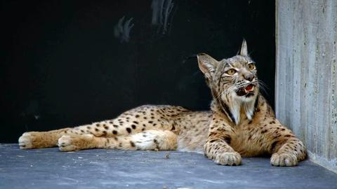 Rare -- Creature Clip: Iberian Lynx