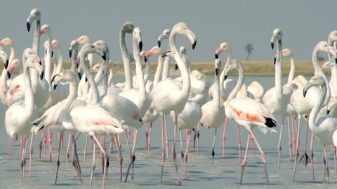 Nature -- Flamingos Feed After the Rains