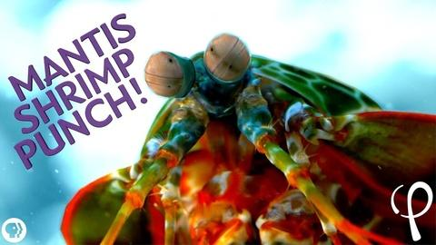 Physics Girl -- S2 Ep27: Mantis Shrimp Punch at 40,000 fps! - Cavitation Phy