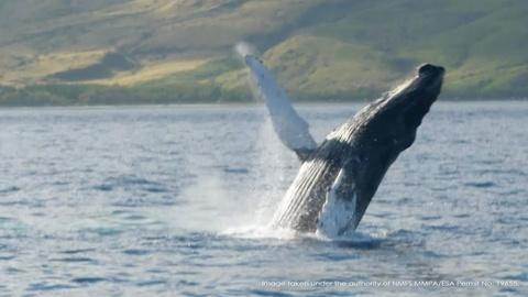 Changing Seas -- Mystery of the Humpback Whale Song - Trailer