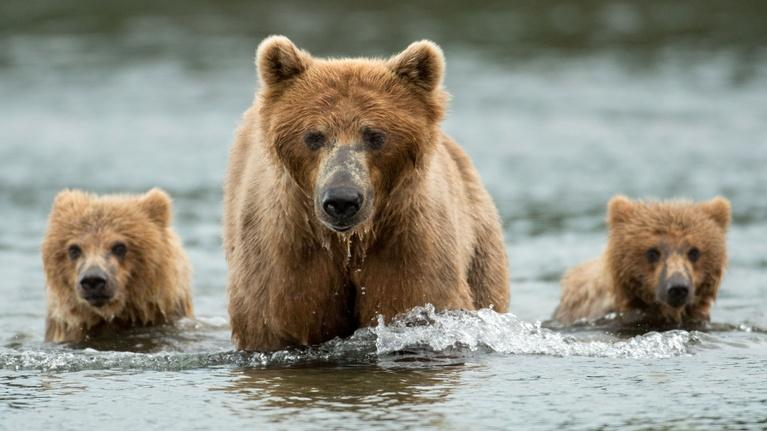 Nature: Bears Preview