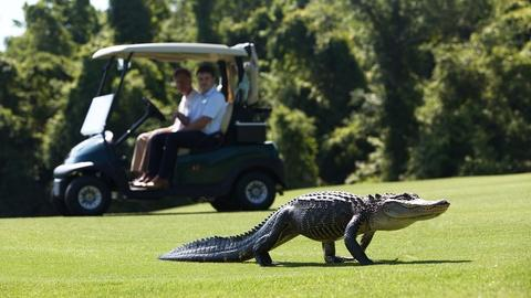 Wild Metropolis -- Alligators Find New Territories on Golf Courses