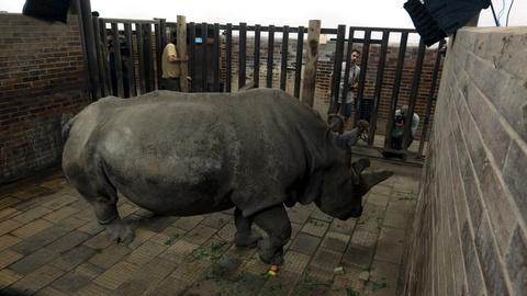 Rare -- Creature Clip: Northern White Rhino
