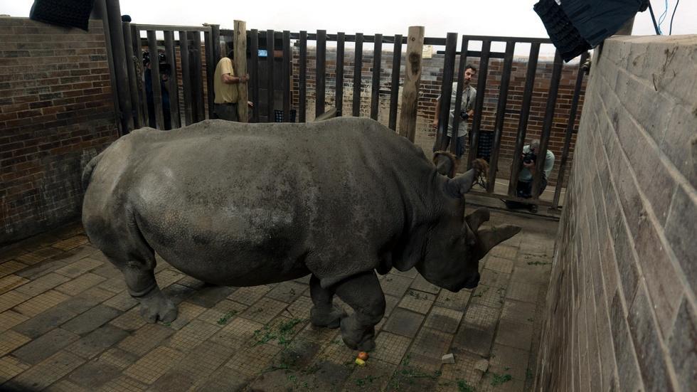 Creature Clip: Northern White Rhino image