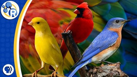 Reactions -- Why Are Birds Different Colors?