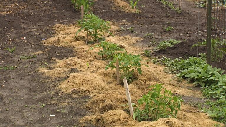 Backyard Farmer: Backyard Farmer: Preventing Tomatoe Disease & Oak Tree Rot