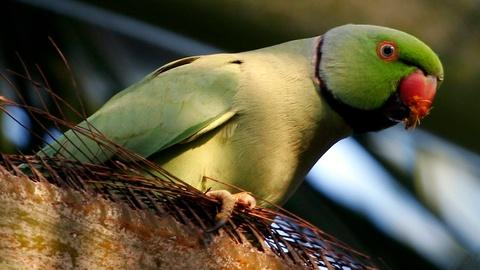 PBS NewsHour -- How a Hawaiian island is fighting invasive parakeets