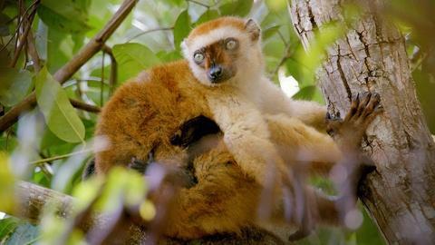 Nature -- Lemurs' Jungle Pharmacy