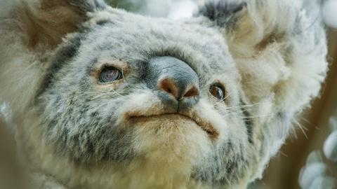 Nature -- Male Koalas Battle over a Female