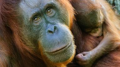 Indah the Orangutan and Her Treatment for Arthritis