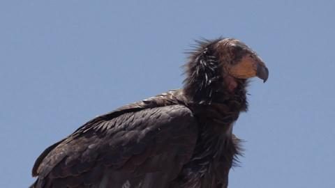 Tending Nature -- The Condor's Spiritual and Ecological Role Along the Klamath