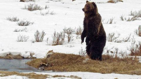 Grizzly Bear Jackpot