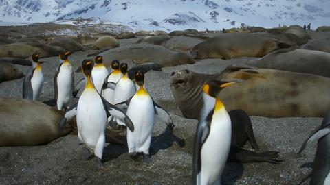 Nature -- King Penguins Tiptoe Around Elephant Seals