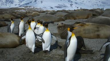 King Penguins Tiptoe Around Elephant Seals