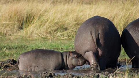 Watch a Protective Mother Hippo Guard Her Baby