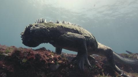 Big Pacific -- Marine Iguanas