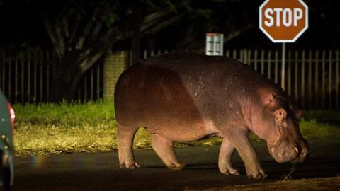 Wild Metropolis -- Hippos Travel Into Town for an Easy Meal
