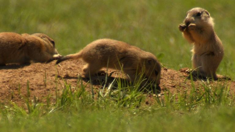 Texas Parks and Wildlife: Trail Taming Troubadour, Prairie Dogs, Skimmer Savers