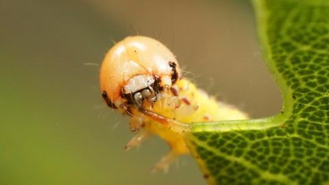 Deep Look -- These Silk-Swinging Caterpillars Will Ruin Your Picnic