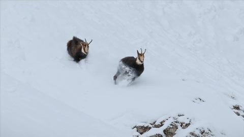 Nature -- Rival Bucks Fight Over Mate