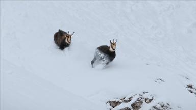 Rival Bucks Fight Over Mate