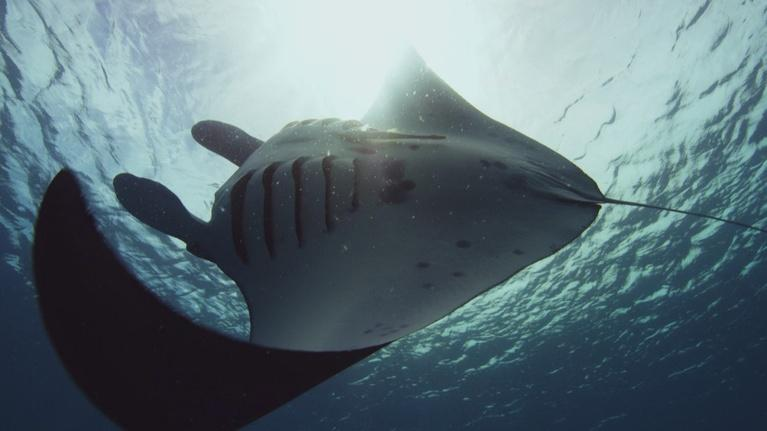 Big Pacific: Manta Rays