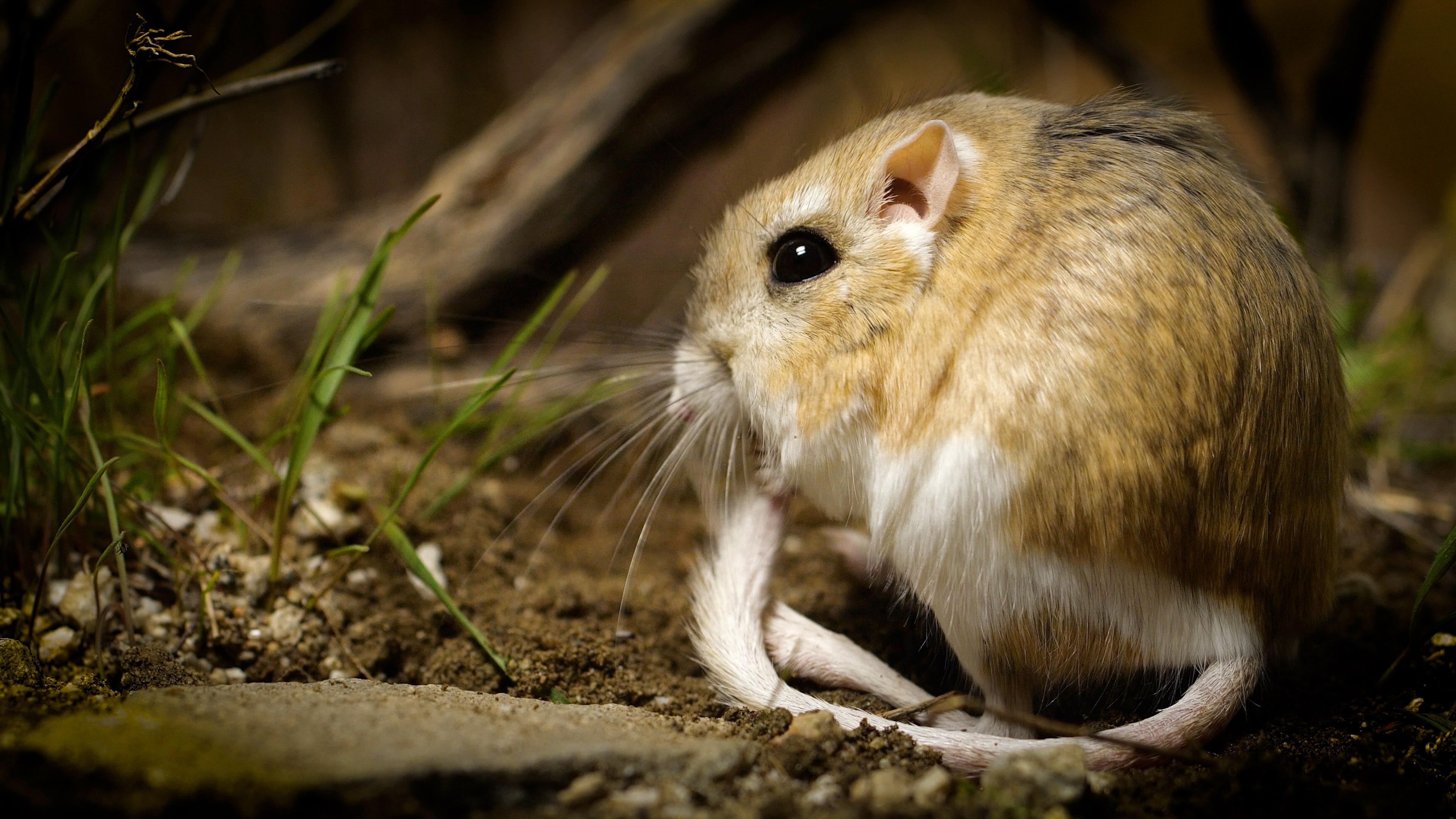 Deep Look Kangaroo Rats Are Furry Spring Loaded Ninjas Season 7 Episode 4 Pbs