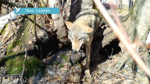 Nature -- Mom Saves Pups on Wolf Trail Cam
