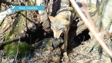 Mom Saves Pups on Wolf Trail Cam